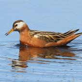 Grey phalarope. Adult female in breeding plumage swimming. Svalbard, Norway, June 2019. Image © John Fennell by John Fennell