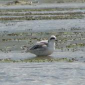Red-necked phalarope. Nonbreeding adult. Lake Grassmere, Marlborough. Image © Will Parsons by Will Parsons www.driftwoodecotours.co.nz