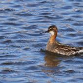 Red-necked phalarope. Adult male in breeding plumage. Svalbard, Norway, June 2019. Image © John Fennell by John Fennell