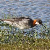 Red-necked phalarope. Adult female in breeding plumage. Svalbard, Norway, June 2019. Image © John Fennell by John Fennell