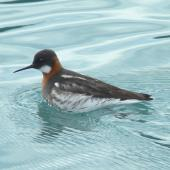 Red-necked phalarope. Adult female in breeding plumage. College Fjord, Alaska, June 2013. Image © Tony Crocker by Tony Crocker