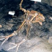 Little bush moa. Articulated skeleton in cave. Takaka Hill, Ngarua caves, December 1996. Image © Joke Baars by Joke Baars