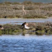 Wilson's phalarope. Non-breeding adult resting among grey teal. Westshore Wildlife Reserve (Landcorp Marsh), Napier, November 2016. Image © Adam Clarke by Adam Clarke