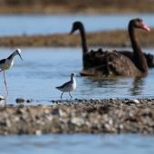 Wilson's phalarope. Non-breeding adult standing next to Pied Stilt, showing size comparison . Westshore Wildlife Reserve, Napier, November 2016. Image © Adam Clarke by Adam Clarke
