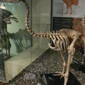 Little bush moa. Mounted skeleton in Otago Museum. Castle Rock, Southland. Image © Alan Tennyson & Otago Museum by Alan Tennyson