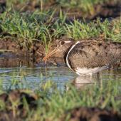 Painted snipe. Adult female. Townsville, Queensland, December 2019. Image © Barry Deacon 2020 birdlifephotography.org.au by Barry Deacon