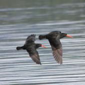 Variable oystercatcher. Dorsal view of adult pair in flight. Blumine Island. Image © John Kearvell by John Kearvell