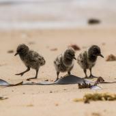 Variable oystercatcher. Three chicks. Waipapa Point, Catlins, December 2016. Image © Anja Köhler by Anja Köhler