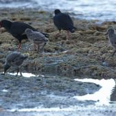 Variable oystercatcher. Adults with chicks. Flaxmill Bay Coromandel. Image © Noel Knight by Noel Knight