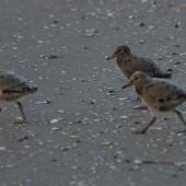 Variable oystercatcher. Chicks. Flaxmill Bay,  Coromandel. Image © Noel Knight by Noel Knight