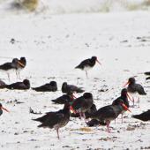 Variable oystercatcher. Flock resting on sandy foreshore. Rarawa, April 2011. Image © Raewyn Adams by Raewyn Adams