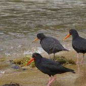 Variable oystercatcher. Family group, two adults (black morph) and chick transitioning to juvenile plumage. Ulva Island, January 2015. Image © Steve Attwood by Steve Attwood http://www.flickr.com/photos/stevex2/