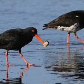 Variable oystercatcher. Black (left) and pale intermediate morph adults feeding. Whanganui, October 2010. Image © Ormond Torr by Ormond Torr