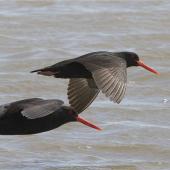 Variable oystercatcher. Dorsal view of black morph pair in flight. Timaru, November 2012. Image © Steve Attwood by Steve Attwood http://stevex2.wordpress.com/