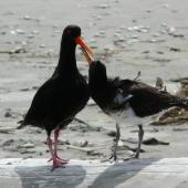Variable oystercatcher. Pied morph fledgling begging from dark intermediate morph adult. Waikanae River estuary, January 2012. Image © Alan Tennyson by Alan Tennyson