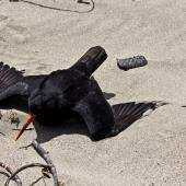 Variable oystercatcher. Adult performing distraction display. Para Para Beach, Golden Bay, November 2015. Image © Rebecca Bowater by Rebecca Bowater