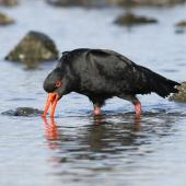 Variable oystercatcher. Dark morph adult piping. Plimmerton, June 2011. Image © Phil Battley by Phil Battley