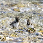 South Island pied oystercatcher. Recently-hatched chicks. Waima/Ure River mouth, October 2020. Image © Derek Templeton by Derek Templeton take.aim.kiwi@gmail.com