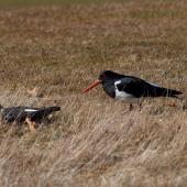 South Island pied oystercatcher. Pair at nest site. Central Otago, August 2010. Image © Peter Reese by Peter Reese