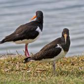 South Island pied oystercatcher. Immature bird (front) with adult. Ruakaka, April 2012. Image © Raewyn Adams by Raewyn Adams