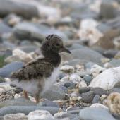 South Island pied oystercatcher. Chick. Mataura River, Eastern Southland, September 2012. Image © Glenda Rees by Glenda Rees http://www.flickr.com/photos/nzsamphotofanatic/