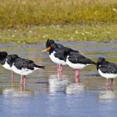 South Island pied oystercatcher. Adults resting. Ruakaka, April 2012. Image © Raewyn Adams by Raewyn Adams