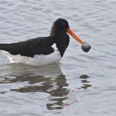 South Island pied oystercatcher. Adult carrying shelfish prey. Avon-Heathcote estuary, June 2014. Image © Steve Attwood by Steve Attwood  http://www.flickr.com/photos/stevex2/
