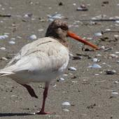 South Island pied oystercatcher. Leucistic adult. Collingwood, Golden Bay, January 2021. Image © Paul Peychers by Paul Peychers