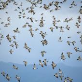South Island pied oystercatcher. Flocking. Pukorokoro Miranda Shorebird Centre, March 2019. Image © Mark Lethlean by Mark Lethlean