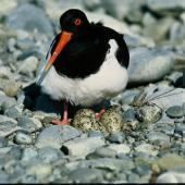 South Island pied oystercatcher. Adult at nest with 3 eggs. Ohau River. Image © Department of Conservation (image ref: 10032186) by Dick Veitch, Department of Conservation Courtesy of Department of Conservation
