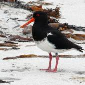 Chatham Island oystercatcher. Adult. Waitangi West, Chatham Islands, January 2011. Image © Alan Tennyson by Alan Tennyson