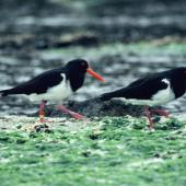 Chatham Island oystercatcher. Adults. Mangere Island, Chatham Islands, October 1987. Image © Alan Tennyson by Alan Tennyson