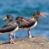 Chatham Island oystercatcher. Adult pair with juvenile at rear. Rangatira Island, Chatham Islands, February 2011. Image © Art Polkanov by Art Polkanov