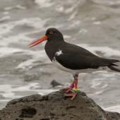Chatham Island oystercatcher. Adult. Pitt Island, Chatham Islands, October 2020. Image © James Russell by James Russell