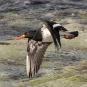 Chatham Island oystercatcher. Adult in flight. Chatham Island, November 2020. Image © James Russell by James Russell