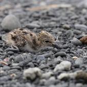 Pied stilt. Chick camouflaged against stones. Westshore Lagoon, Napier, January 2015. Image © Adam Clarke by Adam Clarke