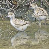 Pied stilt. Chicks. Westshore Wildlife Reserve, Napier, February 2015. Image © Dick Porter by Dick Porter