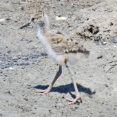 Pied stilt. Chick. Westshore Wildlife Reserve, Napier, February 2015. Image © Dick Porter by Dick Porter