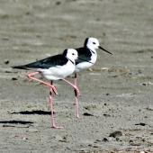 Pied stilt. Two adults each resting on one leg. Opotiki, April 2006. Image © Raewyn Adams by Raewyn Adams