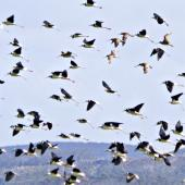 Pied stilt. Side view of flock in flight. Parengarenga Harbour, April 2011. Image © Raewyn Adams by Raewyn Adams