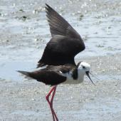 Pied stilt. Adult using fake broken wing to lead away from nest. Mangere sewage ponds, January 2015. Image © Oscar Thomas by Oscar Thomas https://www.flickr.com/photos/kokakola11