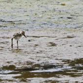 Pied stilt. Chick camouflaged on estuary mud. Otago Peninsula, December 2010. Image © Raewyn Adams by Raewyn Adams