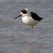 Pied stilt. Juvenile. Wanganui, June 2011. Image © Ormond Torr by Ormond Torr