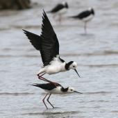 Pied stilt. Adults copulating. Wanganui, December 2007. Image © Ormond Torr by Ormond Torr