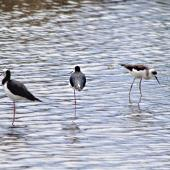 Pied stilt. Juvenile on right feeding while adults rest. Tauranga, February 2011. Image © Raewyn Adams by Raewyn Adams