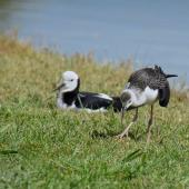 Pied stilt. Adult and fledgling. Potts Road near Whitford, November 2016. Image © Marie-Louise Myburgh by Marie-Louise Myburgh