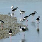 Pied stilt. Adults and immatures foraging. Miranda, August 2012. Image © Joke Baars by Joke Baars