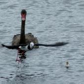 Pied stilt. Chick swimming with protective adult and nearby black swan. Mangere sewage ponds, December 2012. Image © Joke Baars by Joke Baars