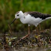 Pied stilt. Juvenile. Queen Elizabeth Park, January 2018. Image © Roger Smith by Roger Smith