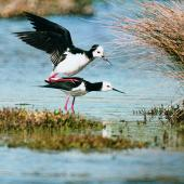 Pied stilt. Pair mating. Pauatahanui Inlet, June 1999. Image © Alex Scott by Alex Scott
